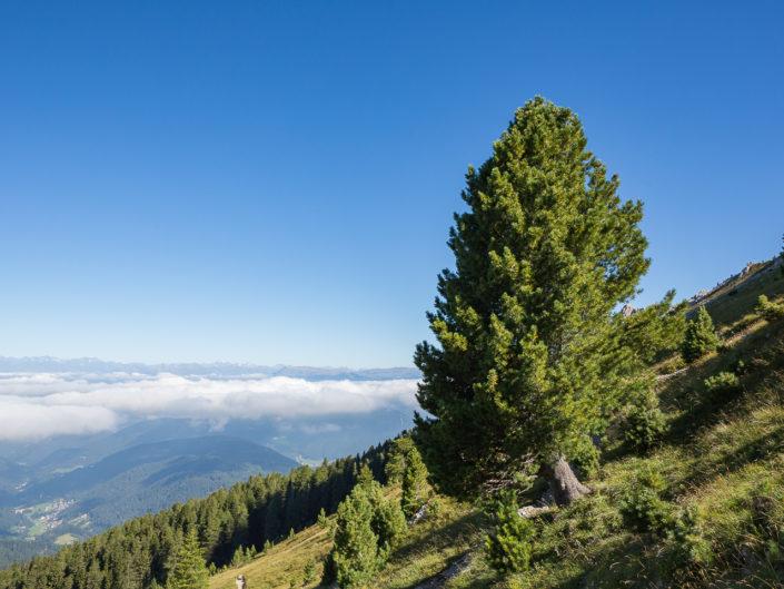 Die Zirbe - Königin der Alpen